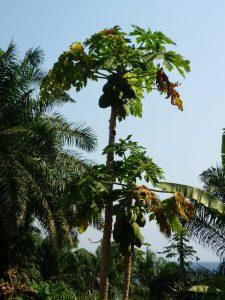 14-papaia-fileminimizer
